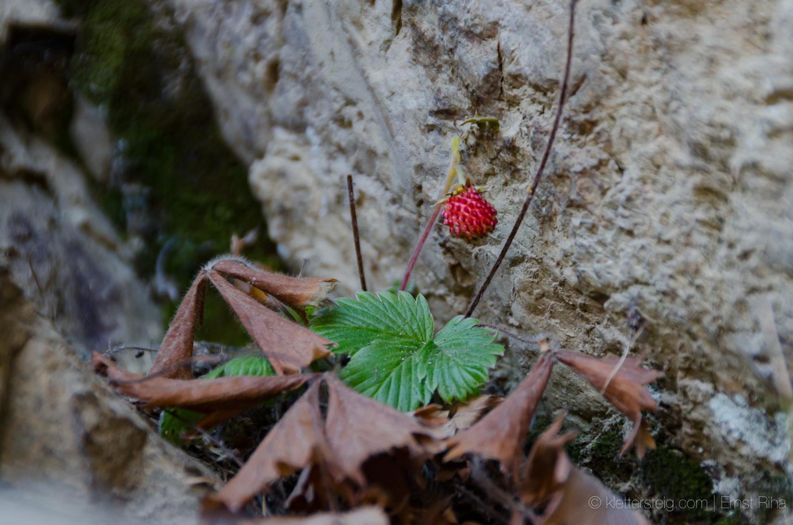 Weihnachts-Erdbeere